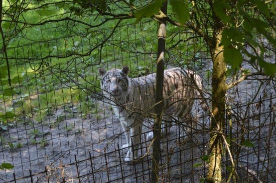 Hermival-les-Vaux, Франция: Tigre blanc