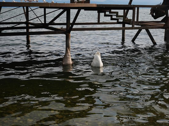 Klangschiff: No respect from these swans: They showed us their behinds...!