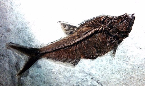 Corpach, UK: Fossiles de poisson