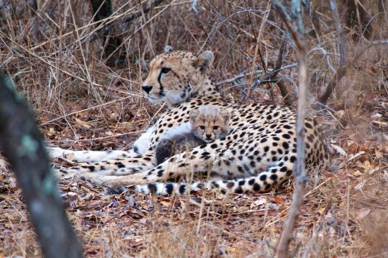 Tangala Safari Camp: Cheetah with one of her four cubs