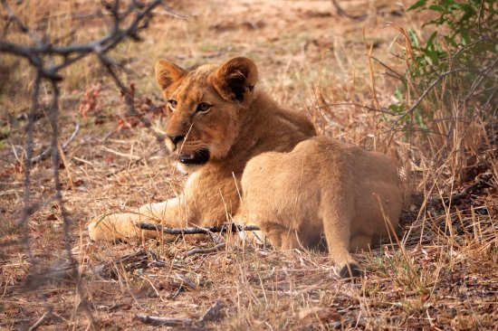 Tangala Safari Camp: Lion cub