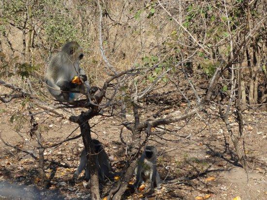 Vervet Monkey Foundation: Vervet monkey