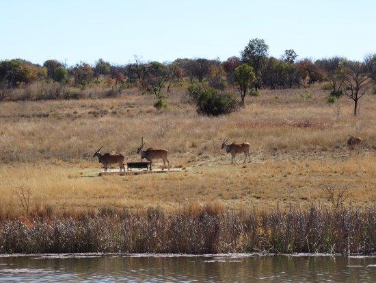 Modimolle (Nylstroom), Sør-Afrika: Uitzicht op elanden