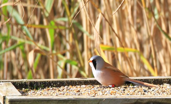 Silverdale, UK: A lovely bearded reedling