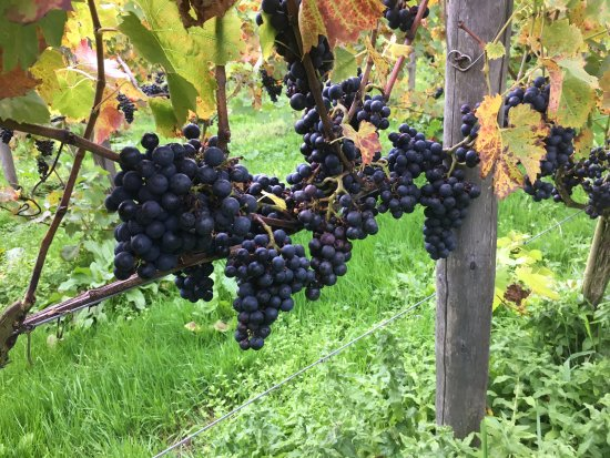 Sedlescombe, UK: Best Grapes Ever