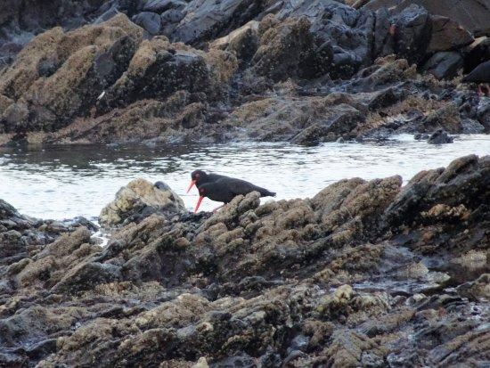 Beachview, Sudáfrica: Austernfischer am Strand