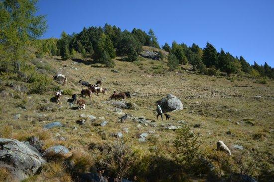 Natural Park Mont Avic: A media subida, campesina con sus vacas. 1700m