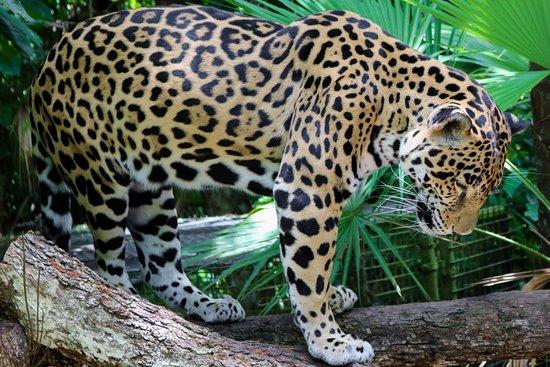 jaguar at belize zoo nina 39 s place blackman eddy tripadvisor. Black Bedroom Furniture Sets. Home Design Ideas