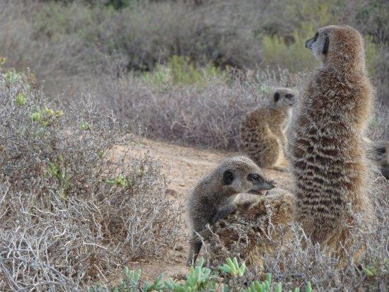 Meerkat Adventures: Meerkats in the wild