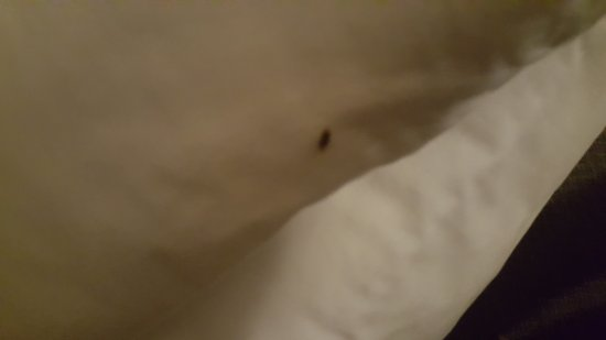 Hamilton Inn: Bed bugs. Woke up scratching after 2 hours sleep. Found this bug under the pillow