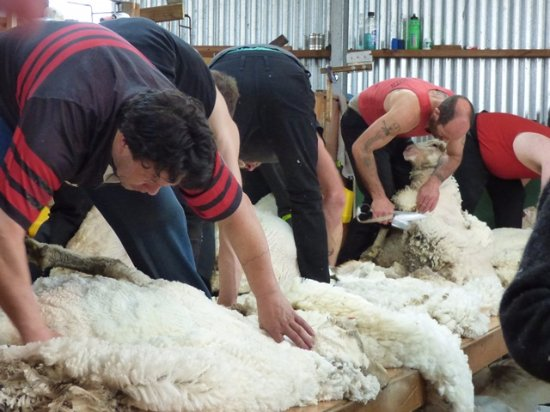 Arthur's Pass National Park, New Zealand: shearing time