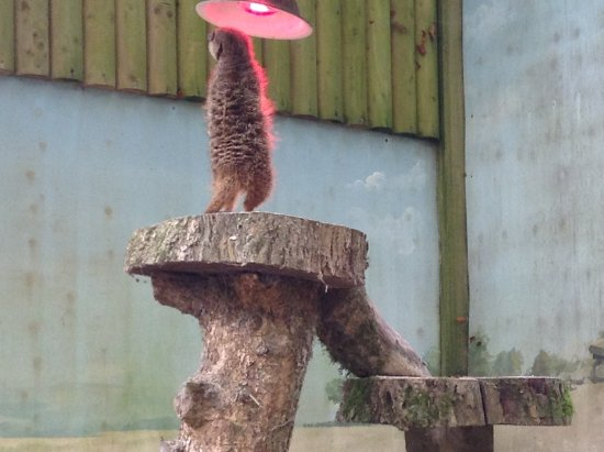Manaton, UK: meercat with his sunlamp