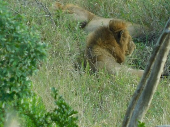 Leopard Walk Lodge: Male Lion on the Game Drive