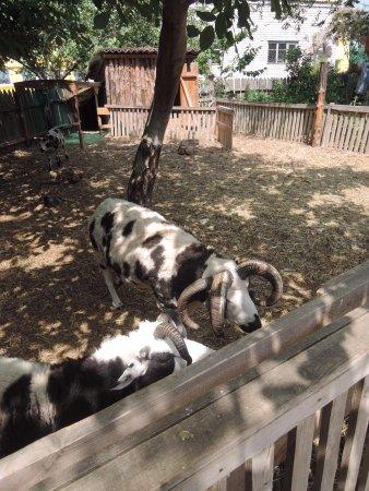 Nikolaev Zoo: четырехрогие бараны