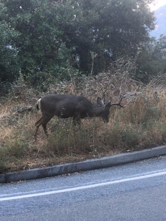 Three Rivers, CA: Deer