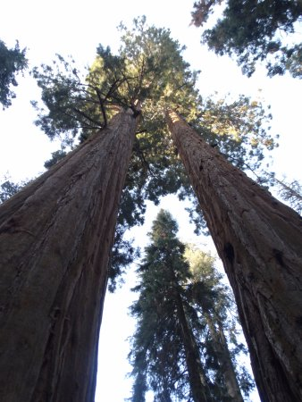 Three Rivers, CA: Huge trees