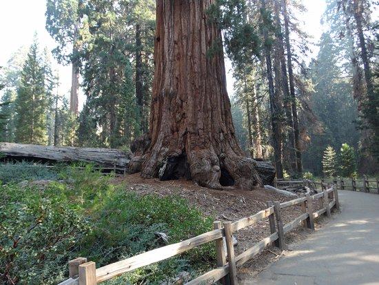 Three Rivers, CA: Big big trees