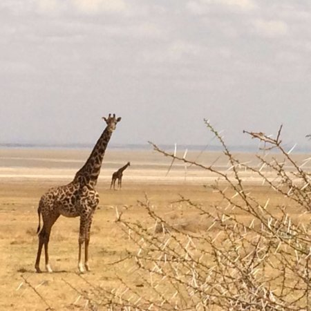 Región de Arusha, Tanzania: Giraffe nel Lake Manyara