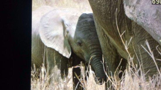 Región de Arusha, Tanzania: Elefantino nel serengeti