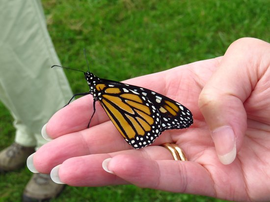 Westport, MA: Monarch that has just emerged from its chrysalis, not yet ready to fly