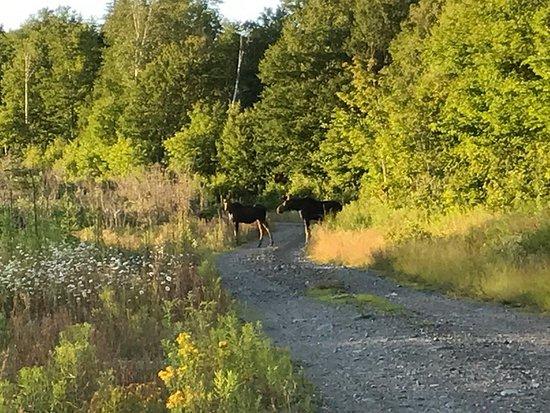 Γκρίνβιλ, Μέιν: Moose near near Moosehead lake