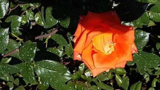 Rose Garden (Rosengarten): 20171008_150037_large.jpg
