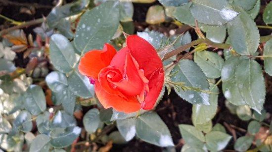 Rose Garden (Rosengarten): 20171008_150453_large.jpg