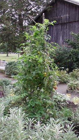 Old Lyme, CT: tomatoes in the garden