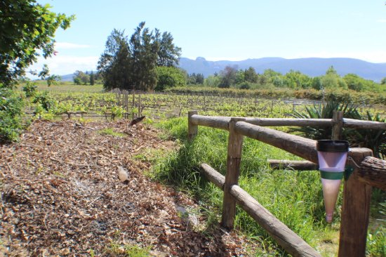 Paarl, South Africa: ...the large wine-yards