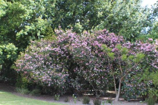 Paarl, South Africa: ...a tree in bloom