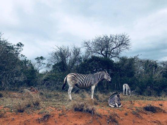 Bonamanzi Game Reserve: Beautiful Zebra!