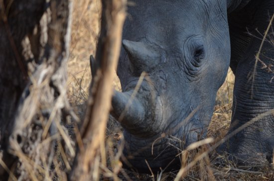 Ngala Private Game Reserve, Sydafrika: Baby Rhino