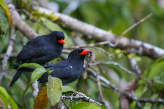 Amazonia Expeditions' Tahuayo Lodge: Black-fronted Nunbird (Monasa nigrifrons)
