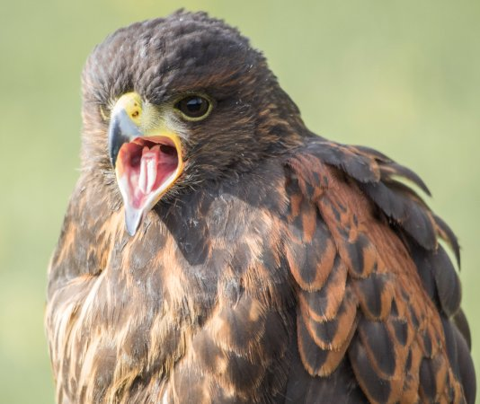 Newent, UK: One of the many Raptors for you to see