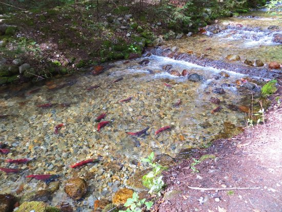 Balfour, Canada: the Salmon Spawning