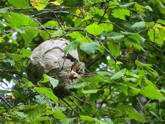 Balfour, Canada: a Huge bees nest in a tree in the Park