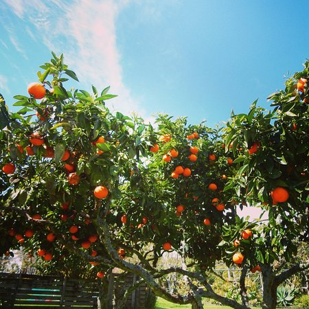 Motel Kerigold Secluded Chalets : Delicious fruit fresh from the tree.