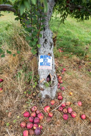 Warwick, NY: Apple Tree