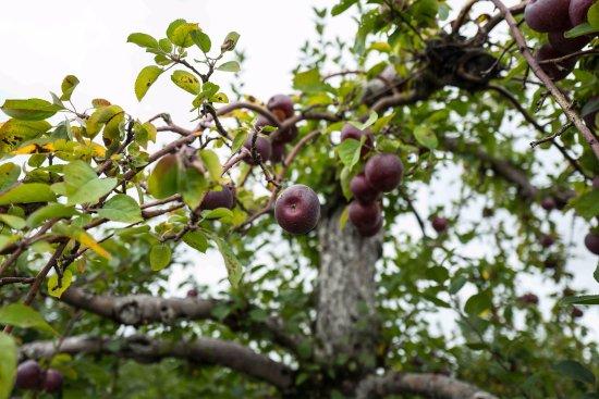 Warwick, NY: Apple Tree