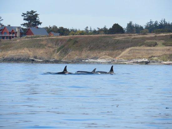 San Juan Islands, WA: Orca family