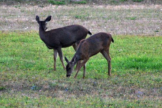 a24ae2e1bcae Deer in the yard in the morning - Picture of George Washington Inn ...