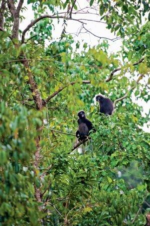 Langkawi District, Μαλαισία: Dusky Leaf Monkeys in Langkawi