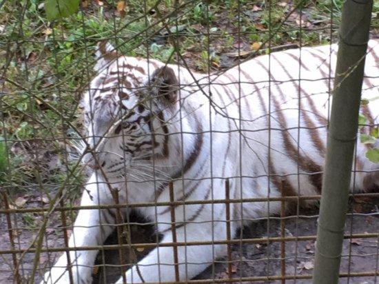 Hermival-les-Vaux, France: Les tigres blancs sont magnifiques