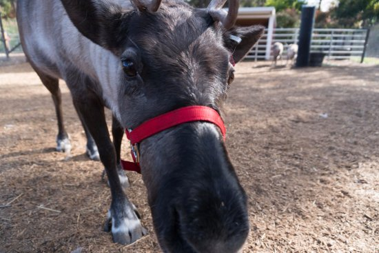 Leavenworth, WA: Up close with a reindeer.