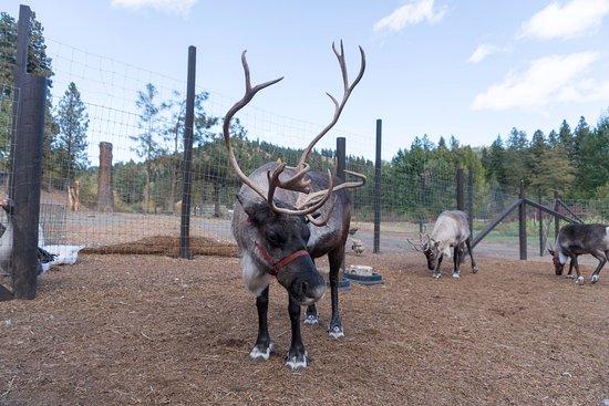 Leavenworth, WA: Even more reindeer.