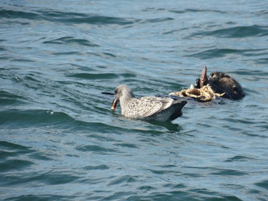 Мосс-Лэндинг, Калифорния: sea oter