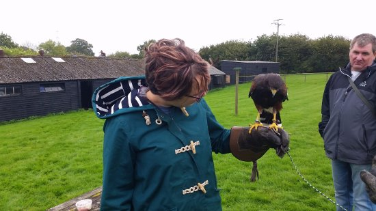 Cullompton, UK: A Harris hawk