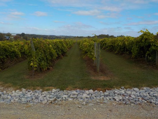 Lawrenceburg, KY: Acres and acres of lush grapevines