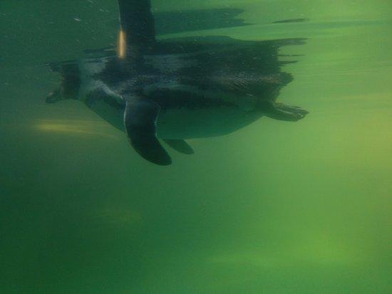 Gweek, UK: Underwater view of the penguins