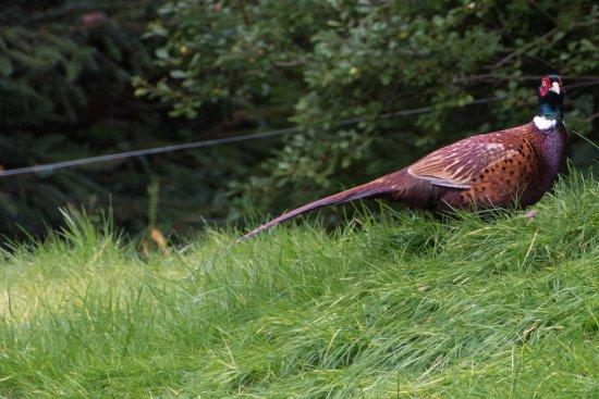 Invermoriston, UK: Pheasant in the garden